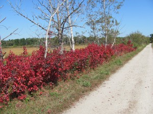 Red hedge along the trail