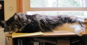 The Maine Coon work ethic on display