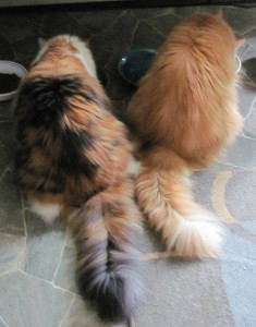 Second Breakfast at the Cat Farm July 24 2015.  Sprite (l), Belle (r)